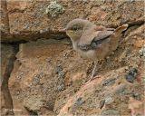 Rock Wren (juvenile)