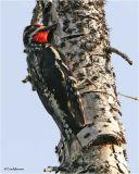 Red-naped Sapsucker