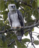 Harpy Eagle (A very rare and hard to find bird)
