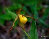 Yellow Ladyslipper