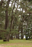 Slanting pines on the spit
