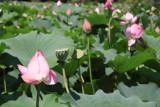 Lilies at Ritsurin-kōen