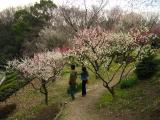 Ume blossoms in Higashiyama-kōen
