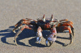 ghost Crab,