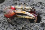 Fiddler crab.