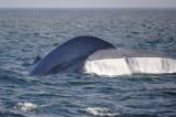 Blue Whale 1 Diving 2