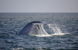 Blue Whale 1 Diving 3