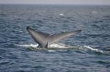 Blue Whale 1 Diving 5