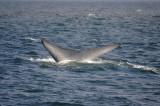 Blue Whale 1 Diving 6