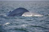 Blue Whale 1 Diving 1.