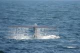 Blue Whale 2 Diving 2.