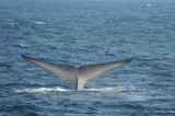 Blue Whale 2 Diving 4.