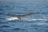 Blue Whale 3 Diving 5.