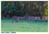 Deer in the IJzerenbos