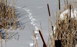 ...tracks in the marsh...