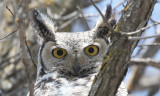 Great Horned Owls 2009