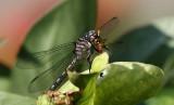 Female- Elusive Clubtail
