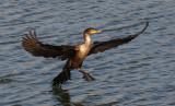 IMG_0055-1... Cormorant
