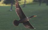 IMG_0002-1...Cormorant