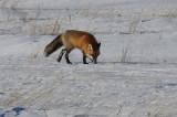 Fox on the Hunt...series