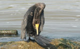 Cormorant 2.jpg