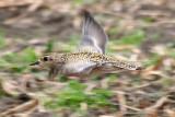 Birds of Washington Gallery 3:  Shorebirds #1 Plovers (135) to Sanderling (166)