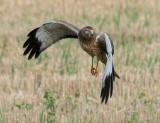 Birds of Washington Gallery 2:  Osprey (109) to Crane (134)