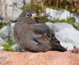 Birds of Washington Gallery 8:   Icterids (438) to Finches (466)