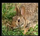 Rabbit mamal 07-24-07 marion.jpg