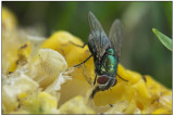 A hungry fly finishing off a cob of sweet corn.