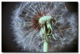 w-2009-09-10-Dandelion.jpg