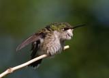 Ruby-Throated Hummingbird IMGP0224.jpg