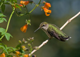 Hummingbirds and flowering vines that attract them