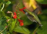 Salvia Miniata IMGP0260.jpg