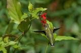 Salvia miniata IMGP0385.jpg
