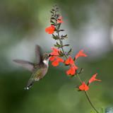 Salvia Subrotunda IMGP0361.jpg