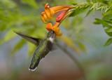 Tecoma stans - Orange trumpetbush IMGP0401.jpg