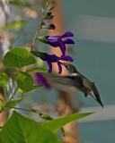 Salvia Guaranitica Purple Majesty IMGP0485.jpg