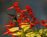 Salvia Van Houtte Dancing Flame IMGP0961.jpg