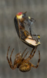 Spiders and Harvestmen