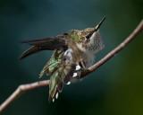 2009 Hummingbirds
