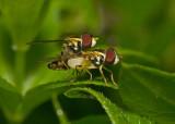 Hover Flies