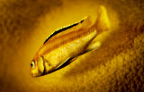 Gold Fish (of sorts)