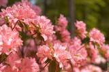 $210 - Azalea Flowers