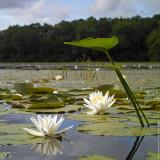 $350 - White Lilies Pond