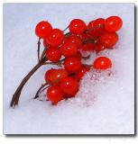 Snow Cherries