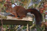 Ecureuils - Squirrels