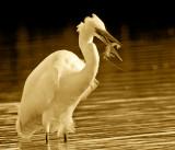 Great Egret & Shrimp