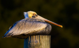 Pelican on cold morning