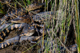 Yearling Alligators